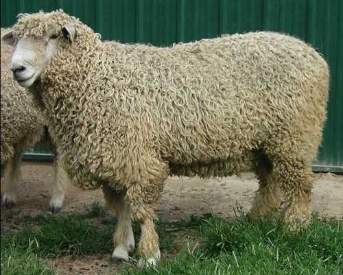 White lincoln longwool ram sheep | Will, a lincoln ...
