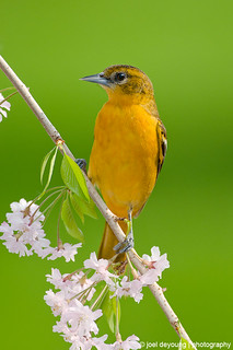 Baltimore Oriole | by Squirrel_bark