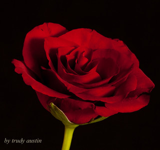 red rose | by trudy austin