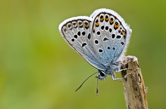 SILVER-STUDDED BLUE  #1 | by GOLDENORFE
