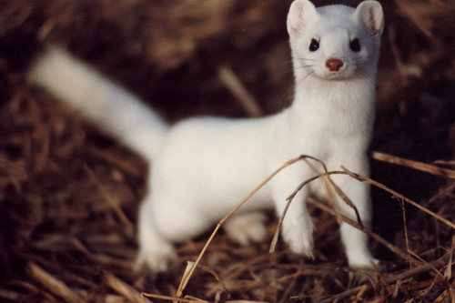 Mustela Frenata, Long-Tailed Weasel | by jacehgn