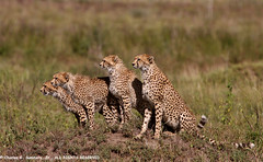 Cheetah family searching for Serengeti prey IMG_9730 | by WildImages