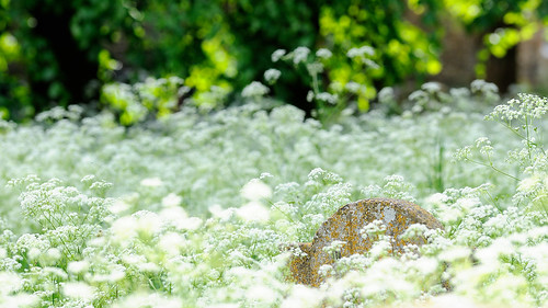how to get rid of cow parsley