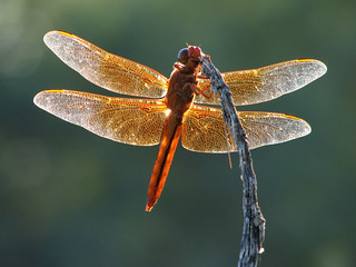 Flame Skimmer | by treegrow