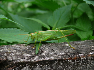 Grasshopper | by adrenalinac
