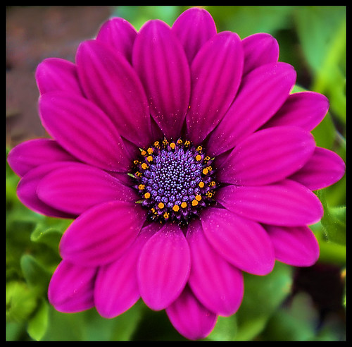 Purple African Daisy | by Jerry Spain