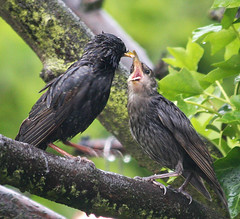 Starlings ~ adult feeding fledging in June | by simball