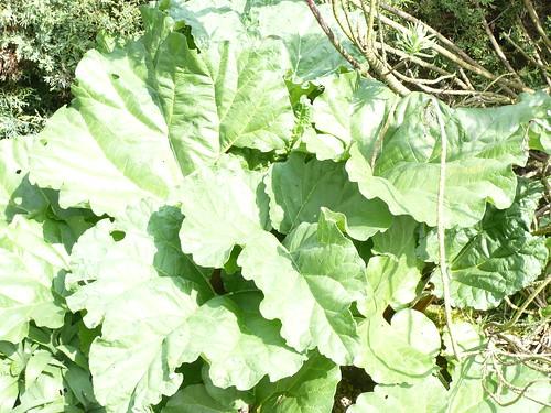cach es par les feuilles les tiges de rhubarbe pour les t flickr. Black Bedroom Furniture Sets. Home Design Ideas