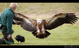 Griffon Vulture | by Bracknell Dave