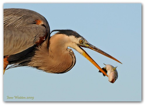 3-22VW1 GBHeron Flipping Fish | by janeswalden