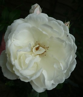 A White Rose | by john47kent