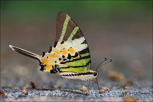 Five Bar Swordtail | by jzsfotografix
