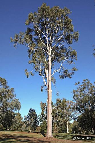 Corymbia maculata, Spo...