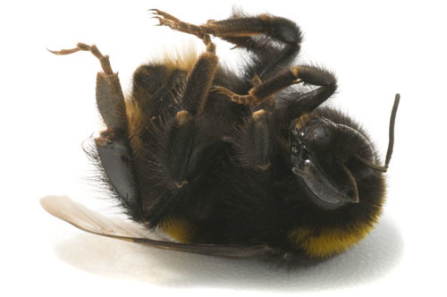 Image result for dead bumblebee