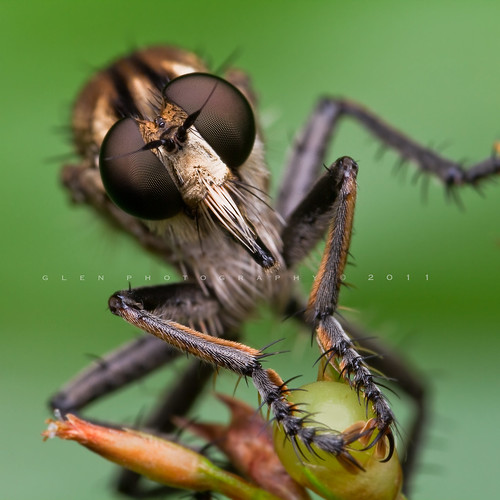 -- [ Diptera family Asilidae ] - Robber Fly -- Explored Frontpage | by Glen Espinosa Photography