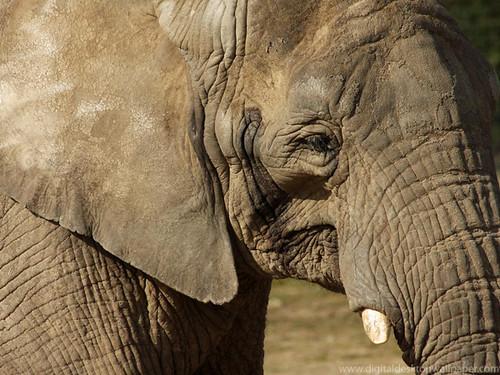 Close up shot of an elephants face | Elephants face. If ...
