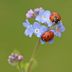 Ladybirds on forget-me-not | by nutmeg66