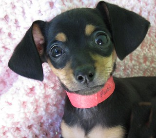 Polka, a Dachshund & Chihuahua Mix Puppy ~ Totally Adorable ~ Over 41,000 views | by Pixel Packing Mama