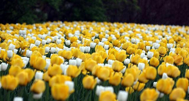 Ottawa - White Dream & Golden Apeldoorn