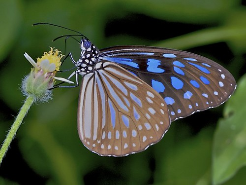 IMG_4424 (1) glassy blue tiger | by Troup1
