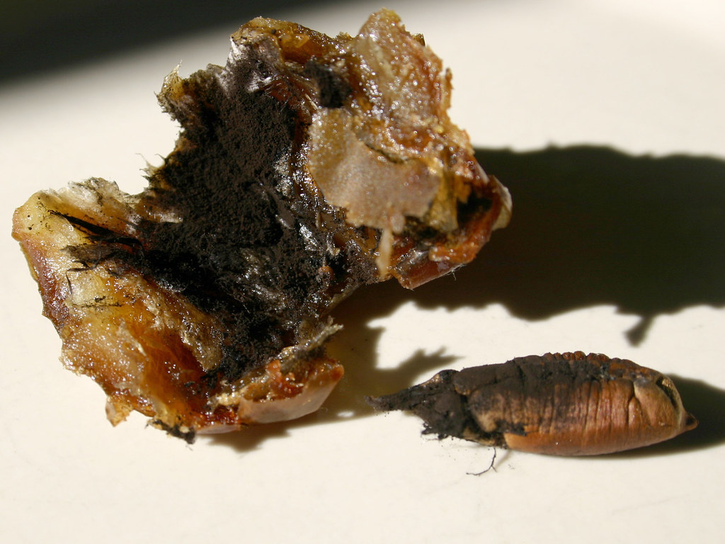 black dusty fungus in my date by natalie wright