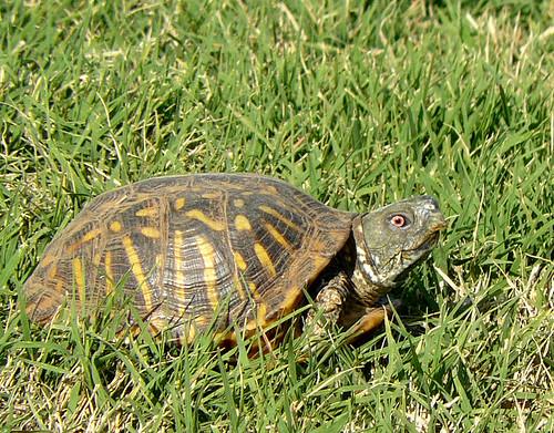 Ornate Box Turtle -- Lubbock, Texas | Ornate Box Turtle ...