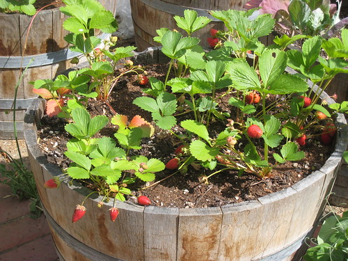 Container vegetable garden nikole gipps flickr - Containers for vegetable gardening ...