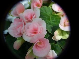 Begonias | by billnbenj