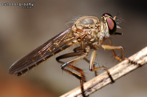 Outdoorgraphy™ : Robberfly @ Home | by Sir Mart Outdoorgraphy™