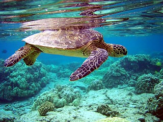 Green Turtle - Chelonia mydas | by Trodel