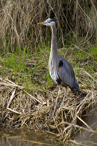 Great Blue Heron at Banks Edge | by Tom in Tacoma