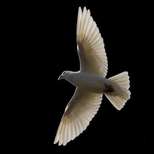 Dove Flying Snip | by oddsock