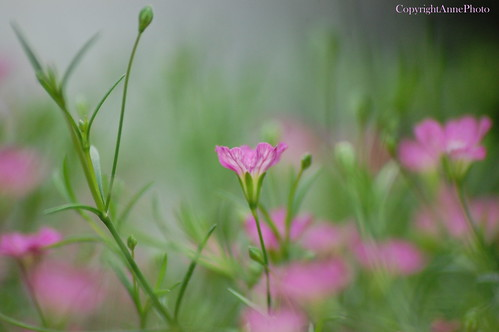 A pink dreamfield... | by ©Anne Photos