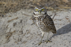 Burrowing Owl | by BWJones