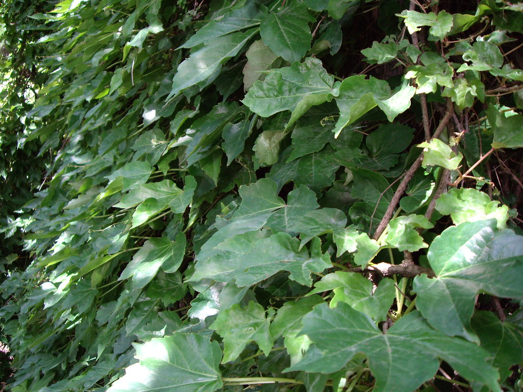 Image result for images of jasmine and english ivy