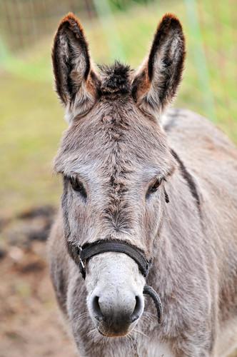 Cute gray donkey   Portrait of a female donkey I saw last ...