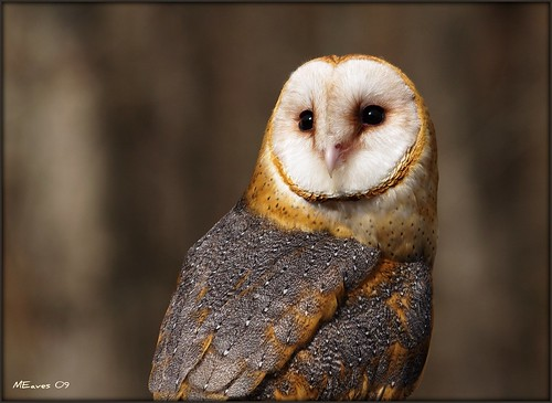 Barn Owl Portrait | by MEaves