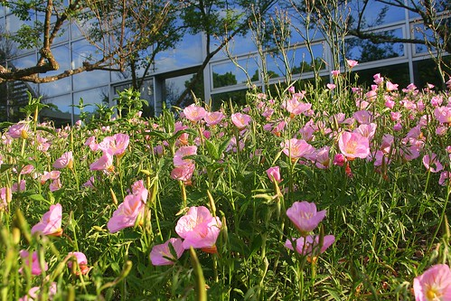 Pink Poppies and Conservatory | by Ezra S F
