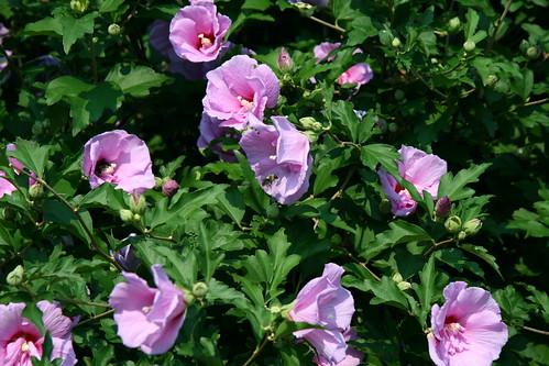 hibiscus lavender chiffon beautiful flowering shrub. Black Bedroom Furniture Sets. Home Design Ideas