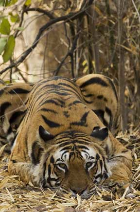 Tiger_DSC5603 | by satyendrak
