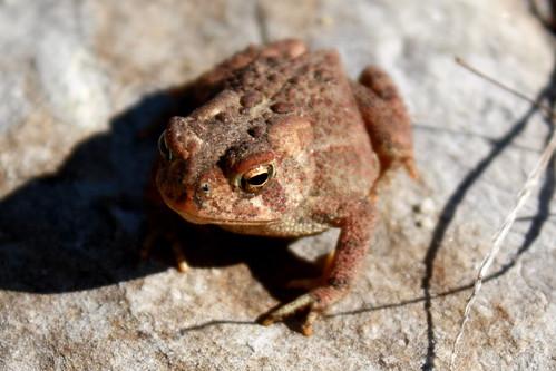 American Toad (Bufo americanus americanus)