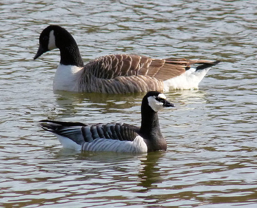 Barnacle goose and canada goose | by Hornbeam Arts