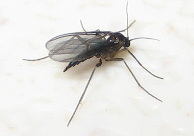 Black fungus gnat - female | by EBKauai