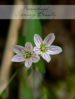 Narrow-leaved Spring Beauty | by Wayfaring Wanderer