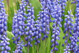 Muscari -- Grape hyacinths | by Gilles Gonthier