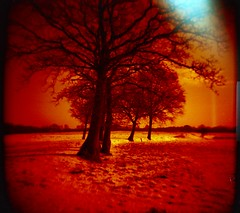 redscale trees | by Der Ohlsen