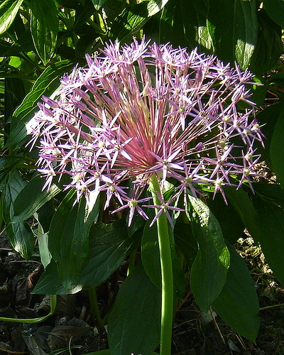 Allium cristophii | by Karabelso
