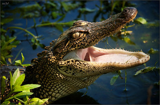 American Alligator Portrait | by www.matthansenphotography.com
