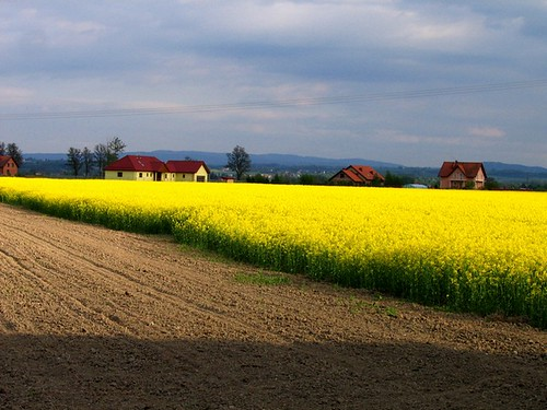 Yellow Field.. | by englishfreak