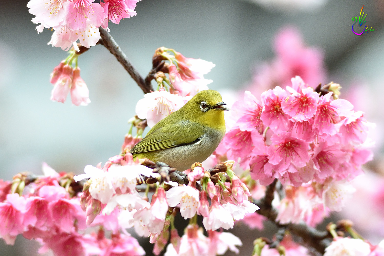 Sakura_White-eye_0572